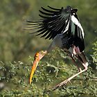 """A painted stork in flight."" by debjyotinayak"