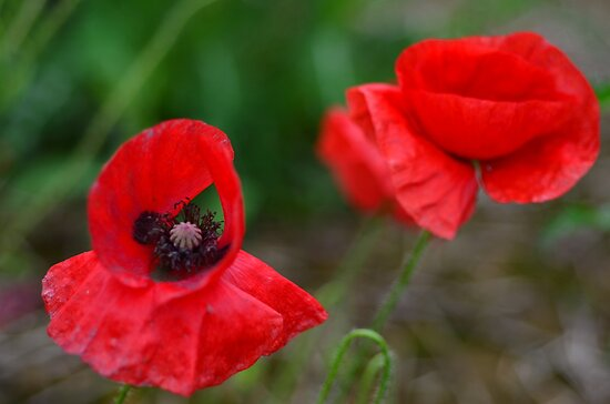 poppy  by photography1