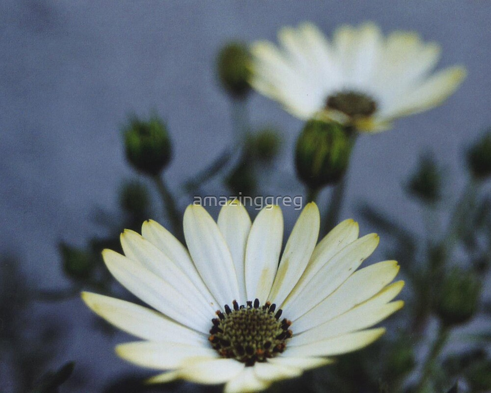 White Daisy by amazinggreg