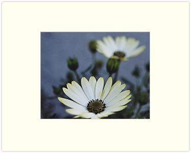 White Daisy by amazinggreg