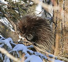 A porcupine I might be but warmth is really all I need by Heather King