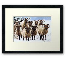 Losers - Manx Sheep Framed Print