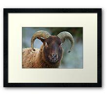 Manx Sheep Framed Print