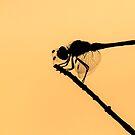Damsel's silhouette by hawkea
