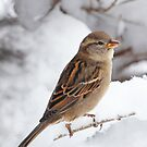 Winter Sparrow ~ by Renee Blake
