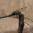 Dragonfly by Annabella