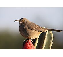 Curve-billed Thrasher Photographic Print
