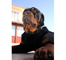 Regal and Proud Male Rottweiler Portrait Photographic Print