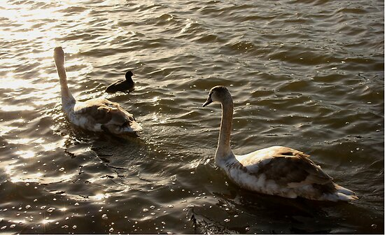 A Swan's Life, Derbyshire by Alex Bonner