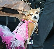 Chihuahua dog with dress by ritmoboxers