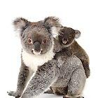 A koala Happy Birthday 1P by Gerry Pearce