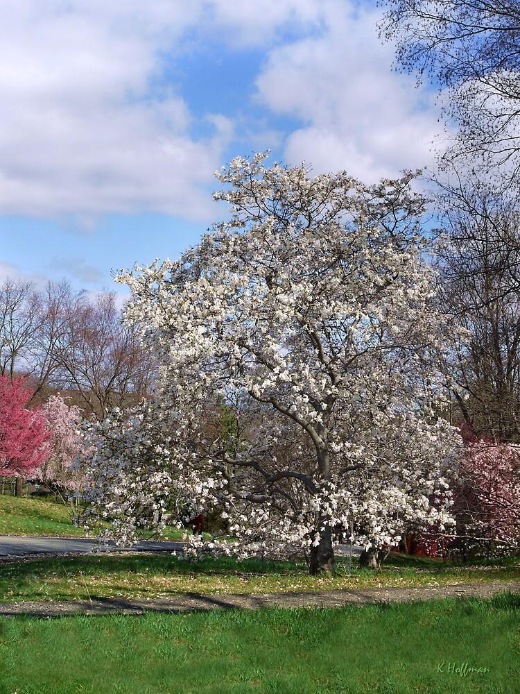 Magnolia by Kenneth Hoffman