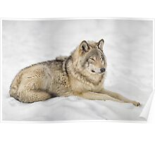 Timberwolf at Rest Poster
