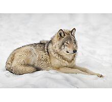 Timberwolf at Rest Photographic Print