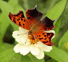 Question Mark Butterfly on Flower by hummingbirds