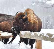 Wooly Bully (North American Bisons) by Poete100
