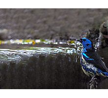 Turquoise Tanager  Photographic Print