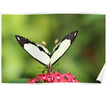 Butterfly - White Wings Poster