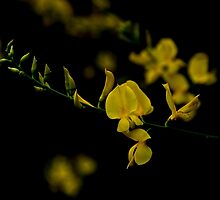 Scotch Broom (Cytisus scoparius) by Elaine Teague