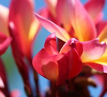 Frangipanis (Tri-colour) on blue sky by Mish Chappell