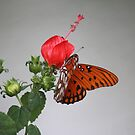 Butterfly on Turk's Cap by Bob Hardy