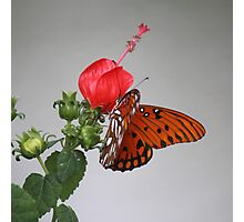 Butterfly on Turk's Cap Photographic Print