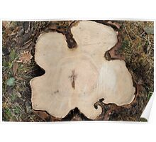 Top view of a cut tree Poster