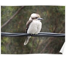 Kookaburra on the Wire Poster