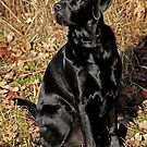 &quot;Duffy&quot; Pure Bred Labrador Retriever by Heather Wade