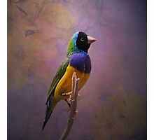 Gouldian Finch Photographic Print
