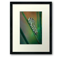 Papilio caterpillar Framed Print