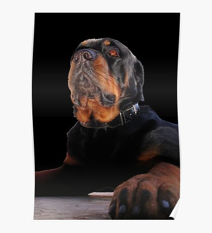 Regal and Proud Male Rottweiler Portrait Isolated Poster