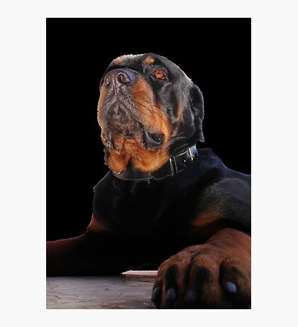 Regal and Proud Male Rottweiler Portrait Isolated Photographic Print