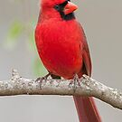 Male Northern Cardinal in January by Bonnie T.  Barry