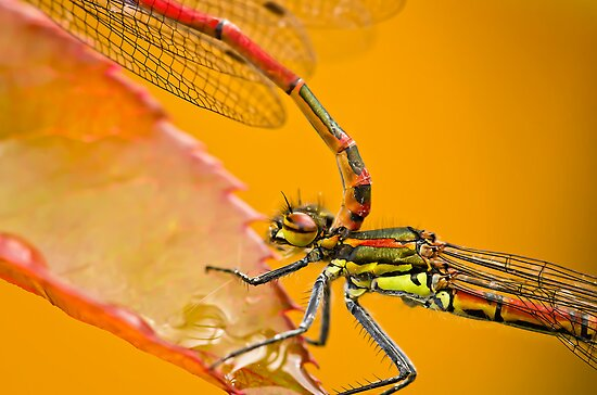 Red demoiselle dragonflies by BenRobsonHull