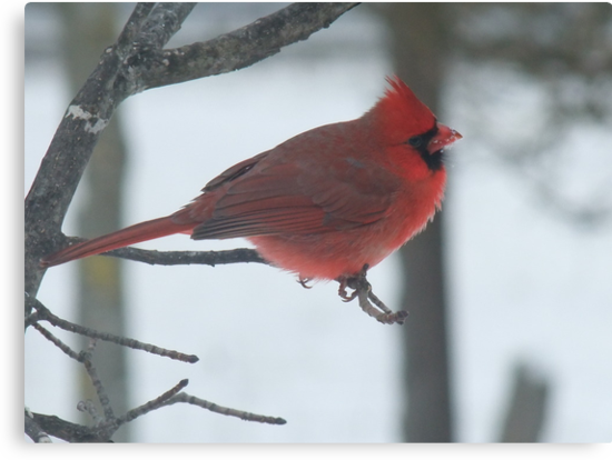Cardinal by Tracy Faught