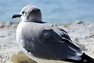 Seagull in the Sand ~ Honeymoon Island State Park by AuntDot