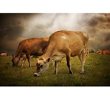 Cornish Cows Photographic Print