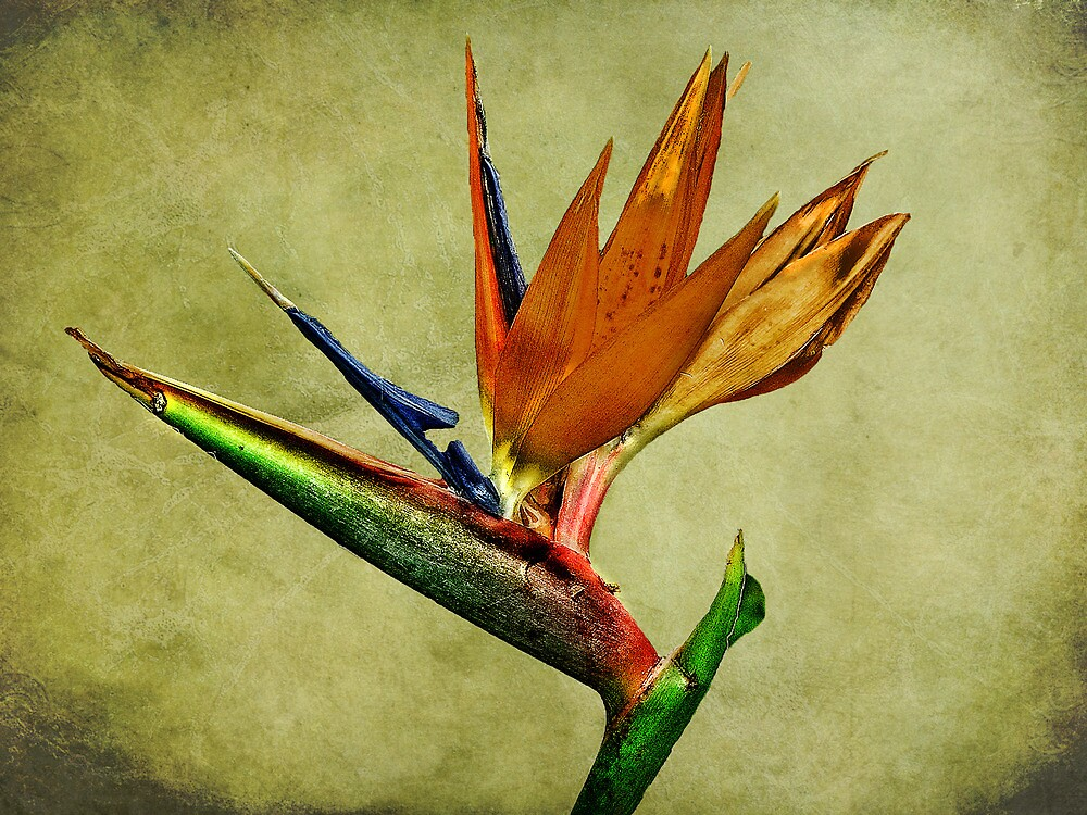 Bird Of Paradise by Dave Godden