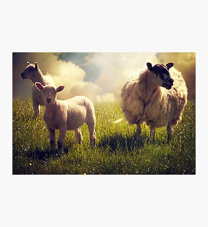 3 Sheep Photographic Print
