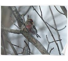 Common Redpoll - Male Poster