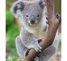 The koala - Australia's cutest by Gerry Pearce