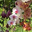 Orchids in Bloom by Caren
