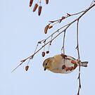 Goldfinch in Birch ~ by Renee Blake