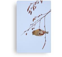 Goldfinch in Birch ~ Canvas Print