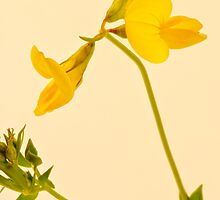 Birds Foot - Trefoil - Wild Flower Macro by Sandra Foster