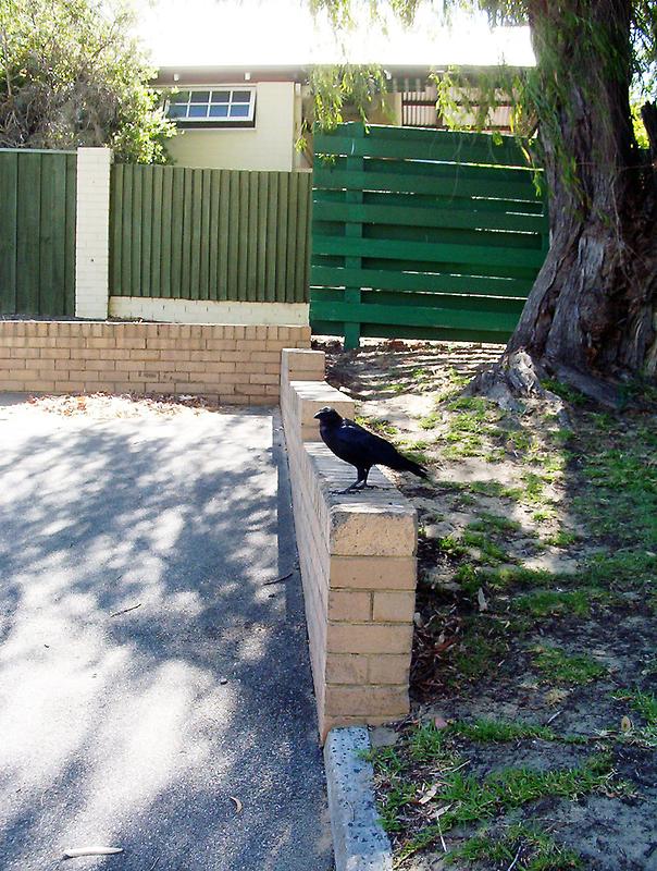 Proud Crow - 06 01 13 by Robert Phillips