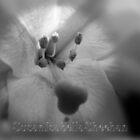 Florals by Susan Isabella  Sheehan