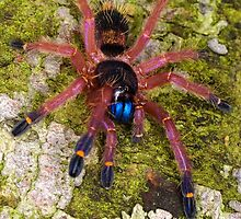 Blue Fang Tarantula Spiderling by Kawka