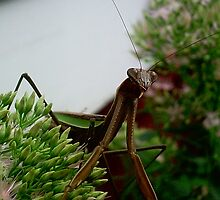 A Praying Mantis Posing.. by windrider